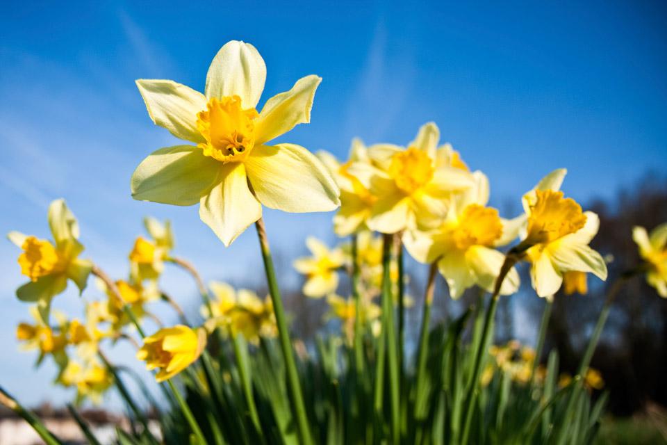 1217053-daffodil