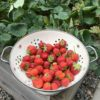 strawberrries from garden